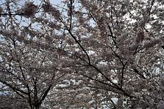 DSC_0120-61 (jjldickinson) Tags: nikond3300 109d3300 nikon1855mmf3556gvriiafsdxnikkor promaster52mmdigitalhdprotectionfilter washingtondc cherry tree flower bloom blossom