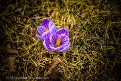 DSC_0001vk (Villi Kristjans) Tags: vilmundur vk villi vkphoto kristjansson kristjans kristjáns kristjánsson outdoor grass green flower color colour summer blue violet nikon sverige sweden svíþjóð varmland