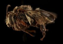Mesoplia rufipes, m, left, La Cruz, Costa Rica_2018-08-15-21.07.27 ZS PMax UDR (Sam Droege) Tags: zerenestacker stackshot geologicalsurvey unitedstatesgeologicalsurvey departmentoftheinterior droege biml beeinventoryandmonitoringlaboratory bug bugs canon closeup macro insect patuxentwildliferesearchcenter pwrc usgs dofstacking stacking entomologist canonmpe65 taxonomy:binomial=mesopliarufipes animals animal bee bees apoidea hymenoptera pollinator nativebee entomology macrophotography usinterior costarica centralamerica male
