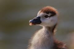 Adventure Gosling (FocusPocus Photography) Tags: nilgans egyptiangoose gans goose gänseküken gosling vogel bird tier animal wasservogel waterfowl frühling spring