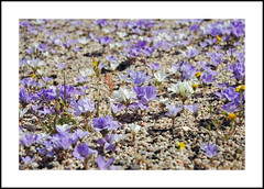 Red Rock Canyon Wildflowers (AussieinUSA) Tags: parryslinanthus linanthusparryae 2019 hagancanyon redrockcanyonsp alongsr14 california kerncounty 2019wildflowers wildflowers