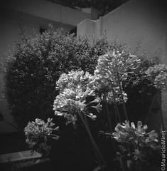 Holga-Acros-04-01.jpg (Mauricio Miret) Tags: holga acros100 ilfosol silverscan epsonv600 bw film blackandwhite
