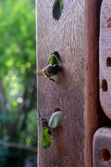 de olho! (abelhário) Tags: coelioxys megachile abelhasnativas abelhassolitárias neotropicalbees leafcutterbees wildbienen wildebijen beehotel bienenhotel bijenhotel insecthotel insektenhotel behangersbijen blattschneider solitarybees solitärbienen solitairebijen inseto insecto insect insekte brazil brasil brazilië brasilien parasitas parasiticbees cuckoobees
