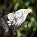 bald eagle - Cleveland Museum of Natural History