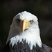 bald eagle 04 - Cleveland Museum of Natural History