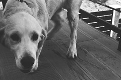 Theodor (songhula) Tags: black white canon ae 1 film japanese camera hunter dog