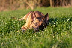 _MG_7387 (icycoldtouches) Tags: thor dog pet animal german shepherd belgian malinois puppy canon canoneos80d tamron tamron90mm