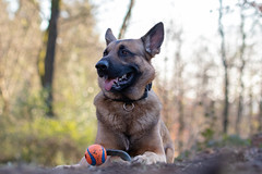 _MG_7345 (icycoldtouches) Tags: thor dog pet animal german shepherd belgian malinois puppy canon canoneos80d tamron tamron90mm