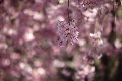 さくら    SOM Berthiot Tele Cinor  1:2.5  F=75 (情事針寸II) Tags: ngc closeup cmount bokeh nature pink fleur flower cerisier cherryblossoms 日本 桜 somberthiottelecinor125f75