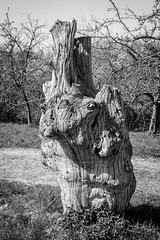 Old tree stump (Thierry GASSELIN) Tags: d7100 monochrome nb bw stump souche tree arbre