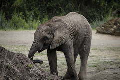 African Elephant (Baby) 1 (Greg Larro Photography) Tags: photography photograph photo art mammal animal wildlife nature wild elephant baby african africa big cute