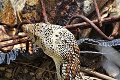 20190417 Gopher Snake in the front yard (lasertrimman) Tags: 20190417 gopher snake front yard gophersnake pacificgophersnake coastgophersnake westerngophersnake pituophis cateniferm pituophiscatenifer