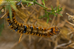 Northern eggar (Lasiocampa quercus callunae) (gcampbellphoto) Tags: moth insect nature wildlife north antrim northern ireland macro gcampbellphoto larvae caterpillar eggar lasiocampa quercus callunae