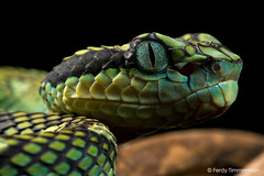 Trimeresurus trigonocephalus (Donndorff, 1798) (Ferdy Timmerman) Tags: trimeresurus trigonocephalus snake viper pitviper ferdytimmerman arboreal predator hunter asia tropical exotic pet sri lanka srilanka island endemic macro nikon 105mm nikkor portrait blackbackground