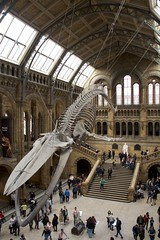 Natural History Museum London (Matthijs Borghgraef | Kwikzilver) Tags: matthijsborghgraef photography kwikzilver fotografie natural history museum london uk hintze hall interior building skeleton whale bluewhale
