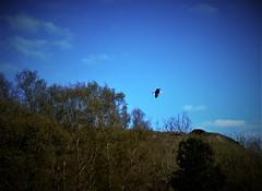 In Flight (Clive Varley) Tags: birds whitecoppice april2019 nikond7000 delabatory074
