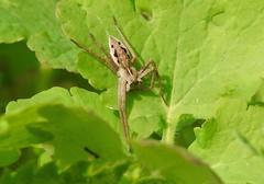 Nursery Web Spider (Pisaura mirabilis) (Nick Dobbs) Tags: nursery web spider pisaura mirabilis insect arachnid lycosoidea macro
