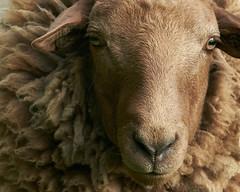 Nature&Animals (d50harry123) Tags: natuur schaap cheap portret animalportrait