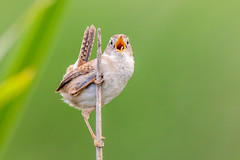Singing for Supper! (Linda Martin Photography) Tags: california eureka wildlife marshwren nature bird arcatamarsh cistothoruspalustris us usa coth naturethroughthelens coth5 ngc alittlebeauty specanimal npc