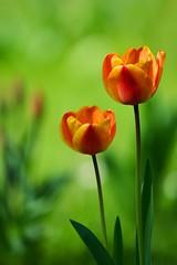 Blume 05 (Sebastian Ukas) Tags: tulpe orange park frühling blume z6 nikon