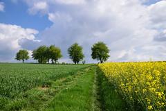 Promenons nous dans les champs (Croc'odile67) Tags: nikon d3300 sigma contemporary 18200dcoshsmc paysage landscape ciel cloud campagne champ sky nature nuage arbres trees colza chemin