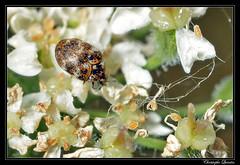 Anthrenus verbasci (cquintin) Tags: arthropoda coleoptera dermestidae anthrenus verbasci macroinsectes