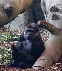 Cincinnati Zoo in Spring (emeagen) Tags: zoo cincinnati d500 nikon gorilla cincinnatizoo