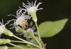 Oxyopidae feeding on Diptera (Phil Arachno) Tags: vietnam asia asien hotram oxyopidae diptera