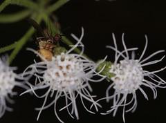 Oxyopidae feeding on Diptera (Phil Arachno) Tags: vietnam asia asien oxyopidae diptera chelicerata arachnida