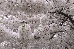 Canopy (brucetopher) Tags: flower flowering tree bloom blooming spring open canopy overhead above lookup up ceiling prolific trees branches abundance prunus