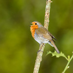 European Robin (Erithacus rubecula), singing male thumbnail