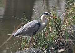 Grey Heron at Eastville Park (Canis Major) Tags: greyheron bird heron eastvillepark eastvillelake ardeidae