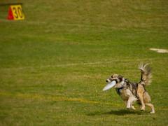 Catch & go (cizauskas) Tags: dog discdog sports competition piedmontpark atlanta georgia dogwoodfestival