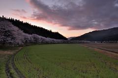 名田庄12・Natasho (anglo10) Tags: japan 福井県 大飯町 名田庄 桜 cherry 日の出 sunrise