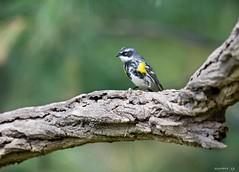 Yellow-Rumped Warbler (swmartz) Tags: nikon nature newjersey outdoors wildlife birds assupink 2019 200500mm yellow yellowrumped warbler spring april