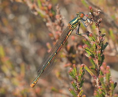 Bissoe Valley, Cornwall, UK (Dave913) Tags: female red large damselfly
