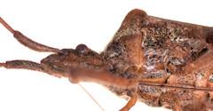 18.3 mm western conifer seed bug (ophis) Tags: hemiptera heteroptera pentatomomorpha coreoidea coreidae anisoscelini leptoglossus leptoglossusoccidentalis westernconiferseedbug