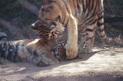 Brother pounces (radargeek) Tags: film 35mm 2018 april okczoo oklahomacity oklahoma okc zoo tiger cubs