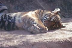Soundly sleeping (radargeek) Tags: film 35mm 2018 april okczoo oklahomacity oklahoma okc zoo tiger cubs