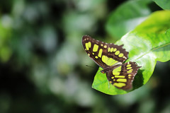 Butterfly (Waterjoe) Tags: butterfly nature insect green fly canon canoneos6dmarkii sigmaartlense