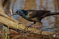 Common Grackle (Designs by iRis) Tags: animal nature wildlife aves commongrackle grackle nikond7000 bird passeriformes