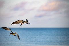 Skimmers defending mates (Beth Reynolds) Tags: skimmer bird shore beach flight florida gulf water breeding defend flying nature passagrille wildlife ngc