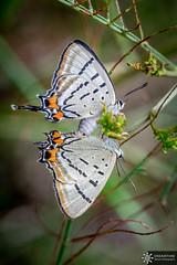 Common Imperial Blue Butterfly (Dreamtime Nature Photography) Tags: commonimperialbluebutterfly jalmenusevagoras lepidoptera butterfly color macro wildlife arthropoda papillon canon dreamtimenaturephotography nature newsouthwales bluemountainnationalpark nsw australia