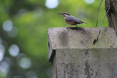 nuthatch (Enzo_MG) Tags: nuthatch picchio muratore bird nature nest nido uccello uccelli