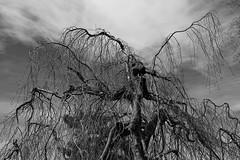 D.C. Tree (Mondmann) Tags: tree limbs branches washingtondc usa unitedstates america sky cloud monochrome blackandwhite bw pb mondmann canonpowershotg7x perennialplant plant wood landscape nature
