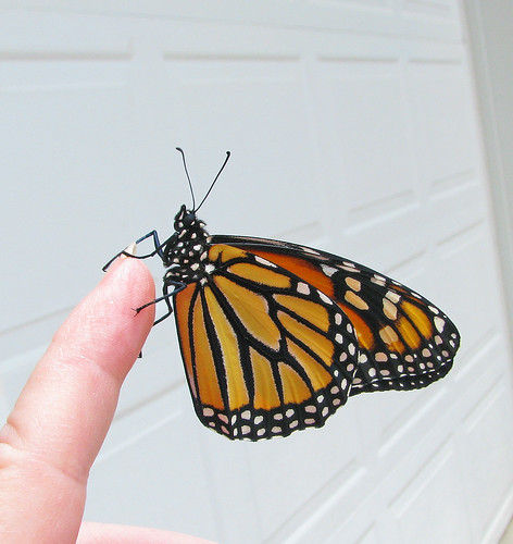 Monarch #30 ... bringing up the rear in May