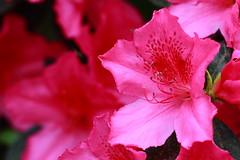 Backyard Azaleas (Singleaction) Tags: azaleas blooms flowers pink