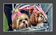 A Pair So Sweet (hellwi) Tags: schleife kinderwagen sweet cute dogs hundchen pärchen süs hunde