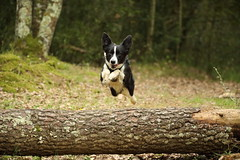 Jump!!! (Nora077) Tags: border collie
