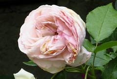Sei gegrüßet, Jesu gütig (amras_de) Tags: rose rosen ruža rosa ruže rozo roos arrosa ruusut rós rózsa rože rozes rozen roser róza trandafir vrtnica rossläktet gül blüte blume flor cvijet kvet blomst flower floro õis lore kukka fleur bláth virág blóm fiore flos žiedas zieds bloem blome kwiat floare ciuri flouer cvet blomma çiçek